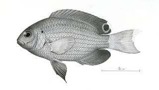 To NMNH Extant Collection (Pomacentrus delurus P07487 illustration)