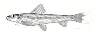 To NMNH Extant Collection (Pseudogobio drakei P07246 illustration)