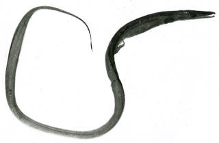 To NMNH Extant Collection (Hoplunnis macrura P13099 illustration)