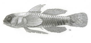 To NMNH Extant Collection (Eviota P17980 illustration)