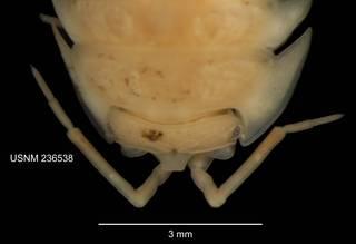 To NMNH Extant Collection (IZ CRT 236538 Armadillidium quadrifrons dorsal head at 12x photo)