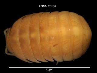 To NMNH Extant Collection (IZ CRT 25130 Armadillidium vulgare dorsal at 6x photo)