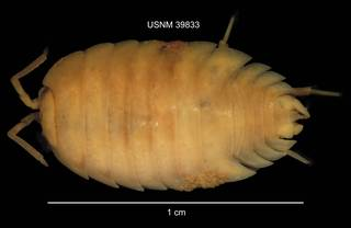 To NMNH Extant Collection (IZ CRT 39833 Porcellio laevis dorsal at 6x photo)