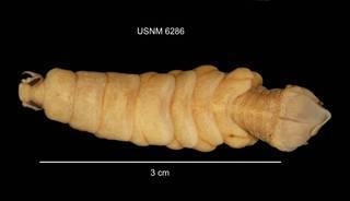 To NMNH Extant Collection (IZ CRT 6286 Olencira praegustator dorsal photo)
