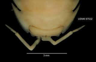 To NMNH Extant Collection (IZ CRT 87532 Armadillidium nasatum dorsal head at 12x photo)