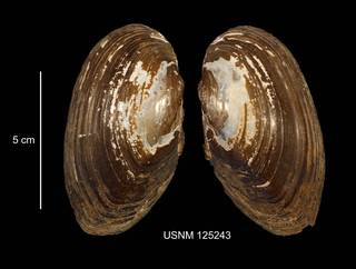 To NMNH Extant Collection (IZ MOL 125243 Anodonta implicata anterior photo)