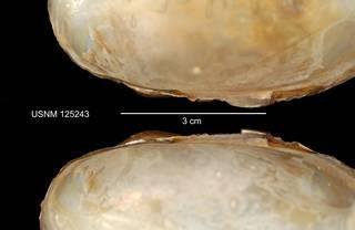 To NMNH Extant Collection (IZ MOL 125243 Anodonta implicata hinges photo)