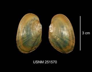 To NMNH Extant Collection (IZ MOL 251570 Lasmigona subviridis exterior photo)