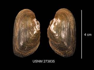 To NMNH Extant Collection (IZ MOL 273835 Alasmidonta marginata exterior photo)