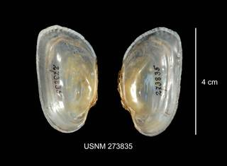 To NMNH Extant Collection (IZ MOL 273835 Alasmidonta marginata interior photo)