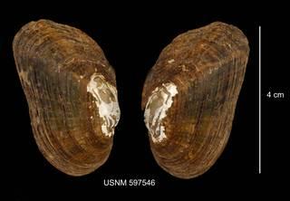 To NMNH Extant Collection (IZ MOL 597546 Alasmidonta varicosa anterior photo)