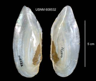To NMNH Extant Collection (IZ MOL 608532 Ligumia subrostrata interior photo)