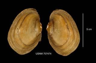 To NMNH Extant Collection (IZ MOL 707474 Lampsilis cariosa anterior photo)