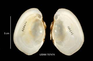 To NMNH Extant Collection (IZ MOL 707474 Lampsilis cariosa interior photo)