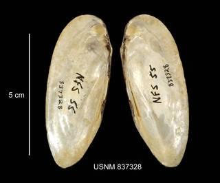 To NMNH Extant Collection (IZ MOL 837328 Elliptio angustatus interior photo)