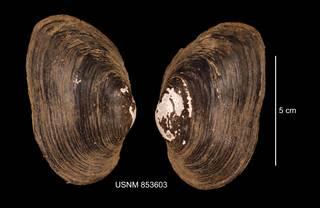 To NMNH Extant Collection (IZ MOL 853603 Strophitus undulatus anterior photo)