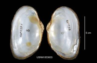 To NMNH Extant Collection (IZ MOL 853603 Strophitus undulatus interior photo)