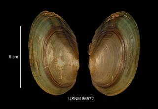 To NMNH Extant Collection (IZ MOL 86572 Anodonta tryonii anterior photo)