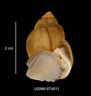 To NMNH Extant Collection (IZ MOL 874811 Campeloma sp. apeture photo)