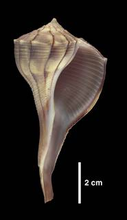 To NMNH Extant Collection (IZ 1009239 Shell)