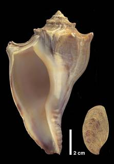 To NMNH Extant Collection (IZ 1009402 Shell and Operculum)