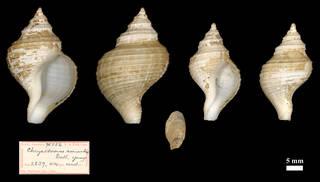 To NMNH Extant Collection (IZ MOL 96556 Chrysodomus amiantus)