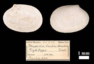 To NMNH Extant Collection (IZ MOL 95703 Mysella barbadensis)
