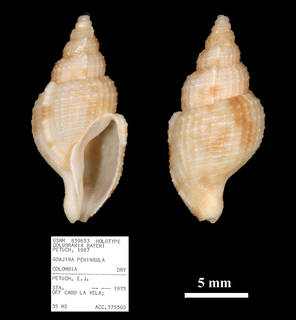 To NMNH Extant Collection (IZ MOL 859853 Colubraria bayeri)