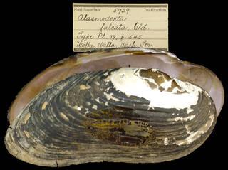 To NMNH Extant Collection (IZ MOL 5929 Alasmodonta falcata)