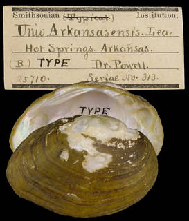 To NMNH Extant Collection (Unio arkansasensis)