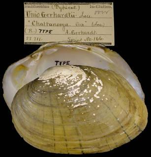 To NMNH Extant Collection (IZ MOL 25711 Unio gerhardtii)