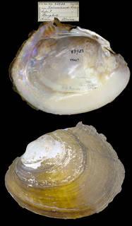 To NMNH Extant Collection (IZ MOL 83933 Unio hainesianus)