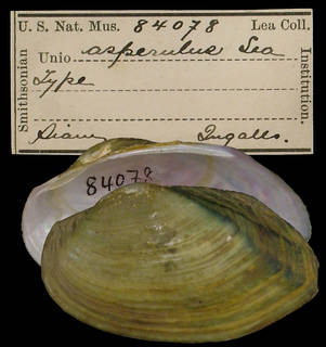 To NMNH Extant Collection (IZ MOL 84078 Unio asperulus)