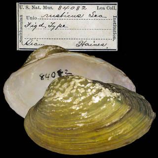 To NMNH Extant Collection (IZ MOL 84082 Unio rusticus)