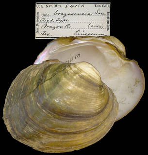 To NMNH Extant Collection (IZ MOL 84110 Unio brazosensis)