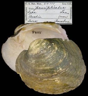 To NMNH Extant Collection (IZ MOL 84111 Unio pauciplicatus)