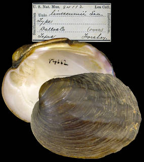 To NMNH Extant Collection (IZ MOL 84112 Unio lincecumii)