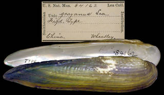 To NMNH Extant Collection (IZ MOL 84162 Unio grayanus)
