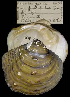 To NMNH Extant Collection (IZ MOL 84200 Unio pustulatus)