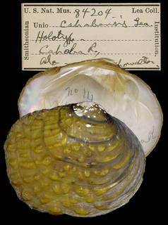 To NMNH Extant Collection (IZ MOL 8204 Unio cahabensis)