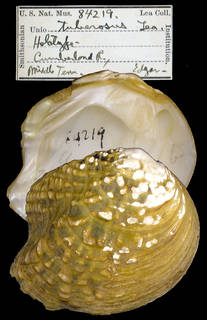 To NMNH Extant Collection (IZ MOL 84219 Unio tuberosus)