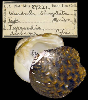 To NMNH Extant Collection (IZ MOL 84221 Unio biangulata)