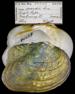 To NMNH Extant Collection (IZ MOL Unio wardii)