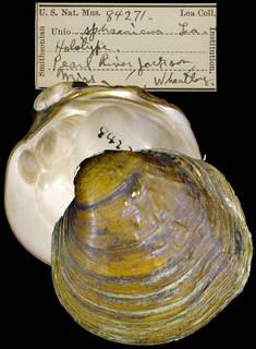 To NMNH Extant Collection (IZ MOL 84271 Unio sphaericus Holotype)