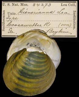To NMNH Extant Collection (IZ MOL 84273 Unio keinerianus Holotype)