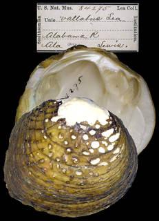 To NMNH Extant Collection (IZ MOL 84275 Unio vallatus)