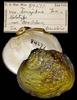 To NMNH Extant Collection (IZ MOL 84277 Unio turgidus Holotype)