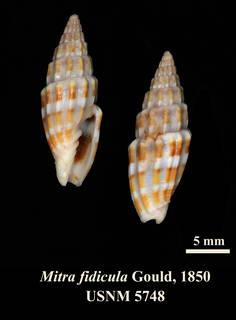 To NMNH Extant Collection (IZ MOL 5748 Mitra fidcula Holotype)