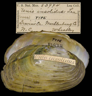 To NMNH Extant Collection (IZ MOL 83974 Unio insolidus Holotype)