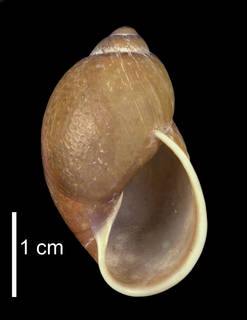 To NMNH Extant Collection (IZ MOL 105045 Shell apertural view)